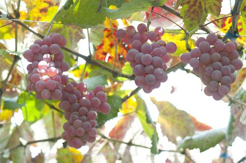 甲州の葡萄