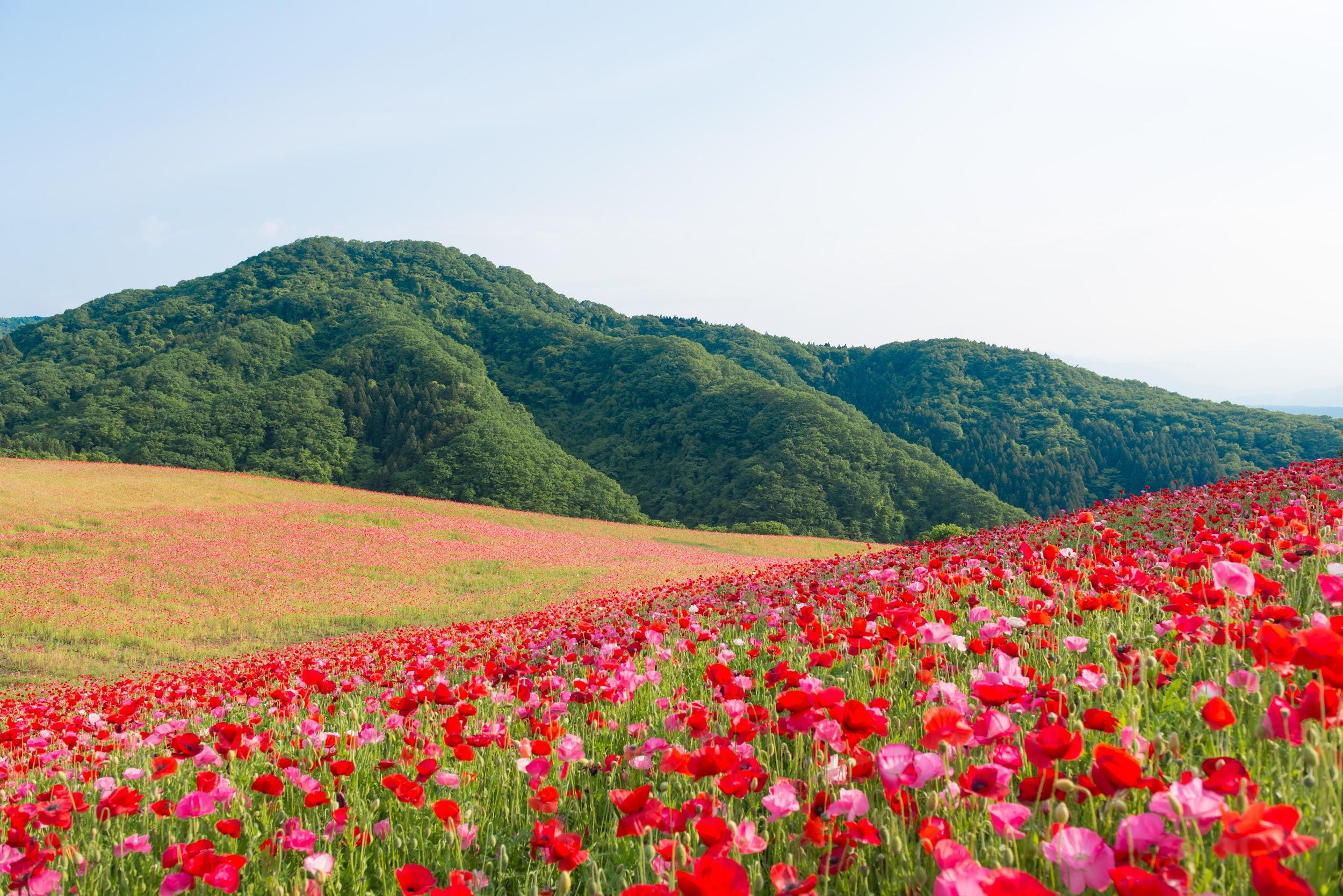 秩父の花畑