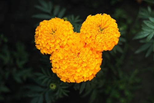ミッキーの形の花