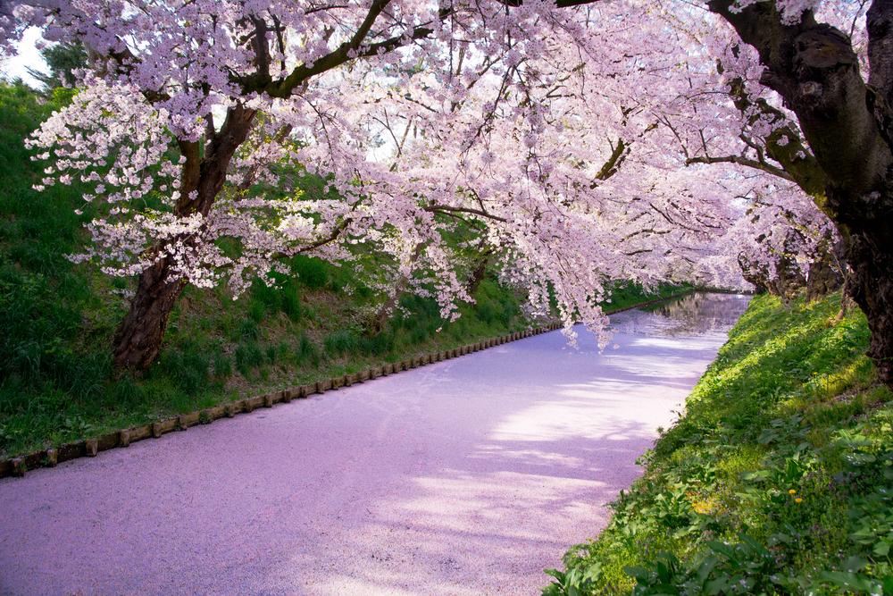桜の絨毯メイン