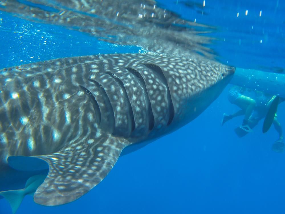 オスロブのジンベイザメ