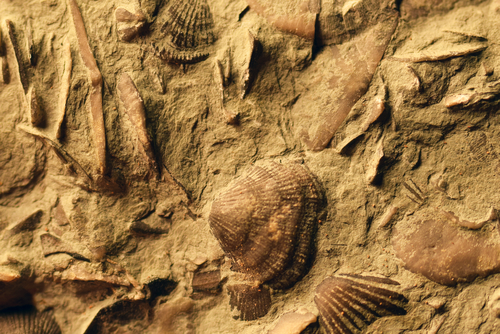 二枚貝の化石