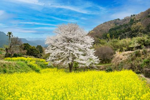 菜の花と桜の木
